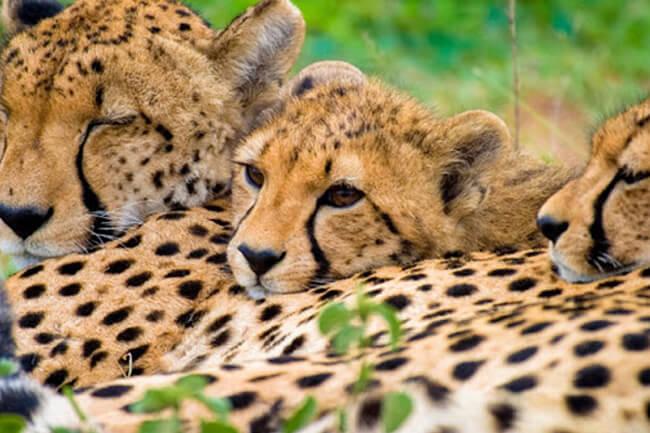 Running Wild Cheetah Experience